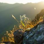 Edelweiss in den Alpen